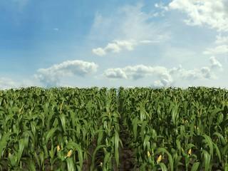 3d illustration of a corn field