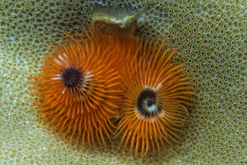 orange christmas tree worm
