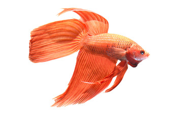 Isolate one red Siamese fighting fish