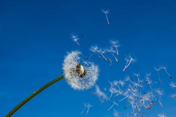 fliegende Samen