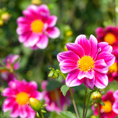 pinkfarbene dahlien dahlia sommerblumen im garten stockfotos und lizenzfreie bilder auf. Black Bedroom Furniture Sets. Home Design Ideas