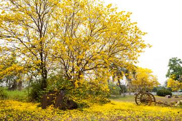 Tabebuia chrysotricha yellow flowers