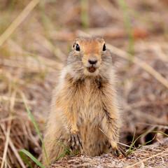 Curious Arctic ground squirrel Urocitellus parryii