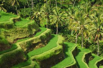 Autocollant pour porte Les champs de riz Terrace rice fields, Ubud, Bali, Indonesia