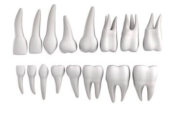 realistic 3d render of human teeth