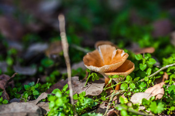 Two mushrooms in the sun deep in the forest