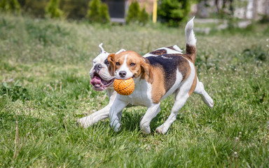 English Bulldog and Beagle dog