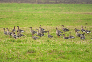 Greylag Gooses on the meadow