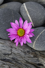 gerbera flower with grey stones on driftwood