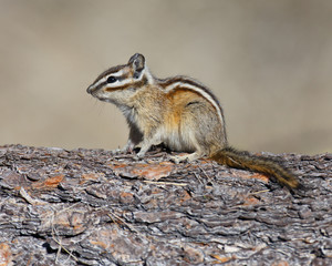 Chipmunk profile view
