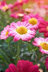 Wall Mural - Daisy flower - Spring flower close up