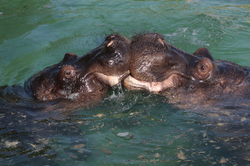 two hippo lovers
