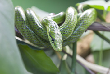 green snake coiled on a branch