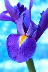 Beautiful blue iris flowers background