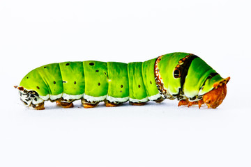 Caterpilla  in isolated on white background