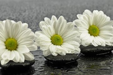 Obraz Białe margaretki - fototapety do salonu