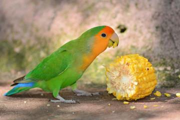 green Lovebird