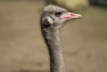 Ostrich - Camel-Bird