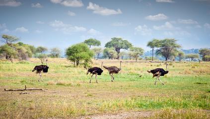 Flock of ostriches run across the Tanzanian savanna.