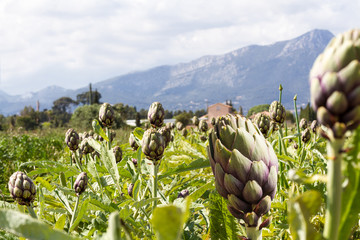 field of artichokes
