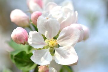 Obraz piękne delikatne kwiaty jabłoni - fototapety do salonu