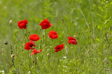 Poppy on green field