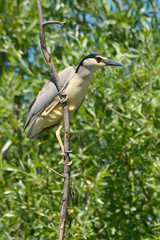 Black crowned night heron in the nature