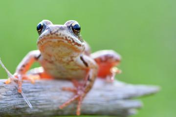 The Common Frog, Rana temporaria