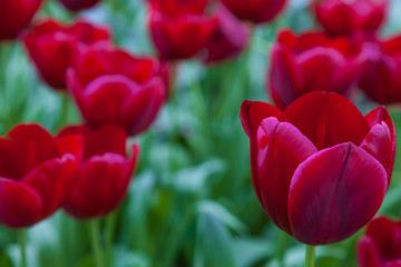 Fototapete - Red Tulips in close up