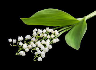 Lily of the Valley flowers isolated on a black background.