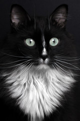 closeup portrait black cat with white breast