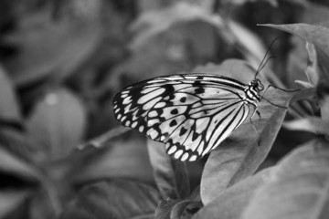 Black and White Butterfly in Fairchild