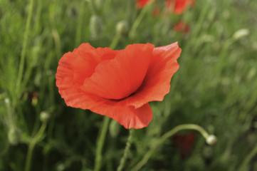 Single wild poppy on green grass sfond