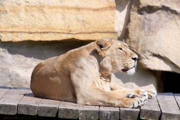 photo of the lion