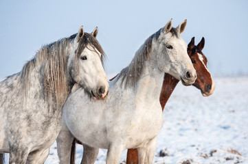 Wall Mural - Portrait of three horses in winter