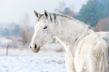 Wall Mural - Portrait of white horse in winter