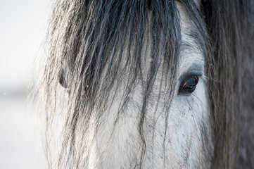 Wall Mural - Portrait of grey shire stallion with long mane in winter