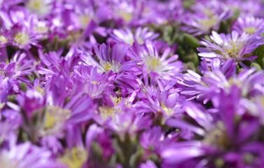 Violet flowers sfond