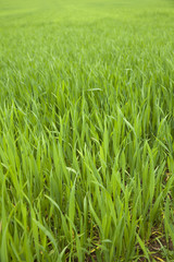 field of young wheat
