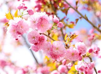 Sakura. Cherry Blossom