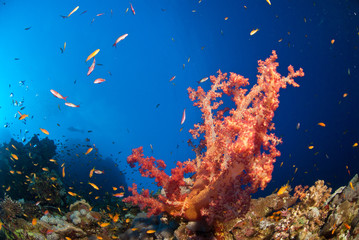 Fototapete - Close up on Tree soft Coral and schooling fish