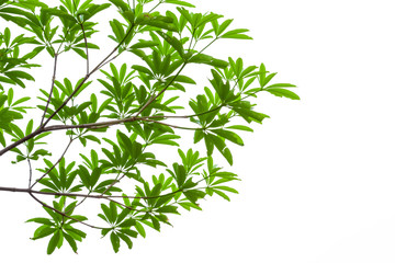 green leaves isolated on white background, clipping path include