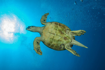 Fototapete - Bottom of a sea turtle