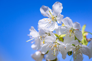 Beautiful blossoming apple tree in the spring time