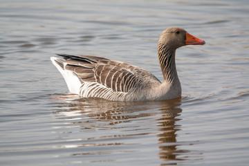 Oies cendrées - Anser anser - en promenade sur le marais