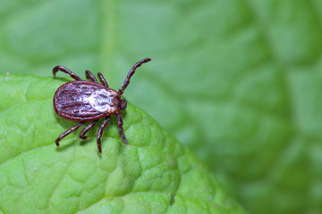 The tick waiting on a green leaf in the forest