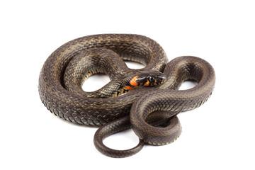 Grass snake (Natrix natrix) isolated on white