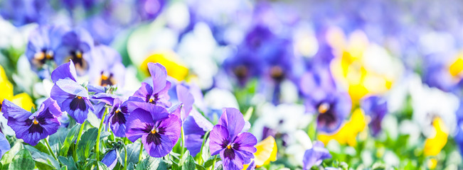 bright colors of pansies