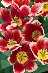 Fototapete - Tulips in Keukenhof Garden, Netherlands