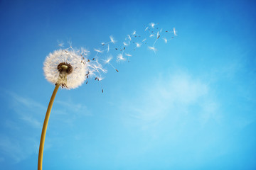 Photo sur Toile Pissenlit Dandelion clock dispersing seed